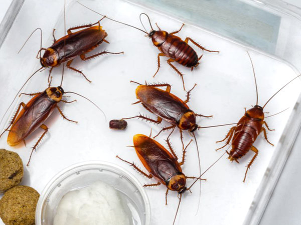 Six American cockroaches (Periplaneta americanus) in a plastic container with two pieces of what appears to be dry pet food or small meatballs