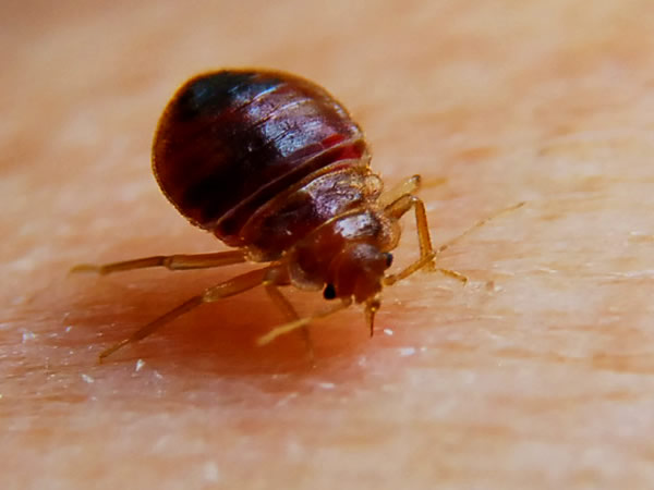 Bed Bug Biology And Human Health Significance