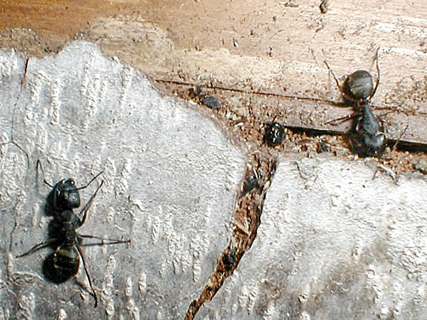 Two carpenter ants outside the hole they're using to get into a nest inside a wall