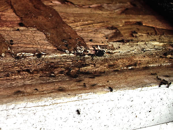 Carpenter ants outside the edge of a roof wherein they have built a nest
