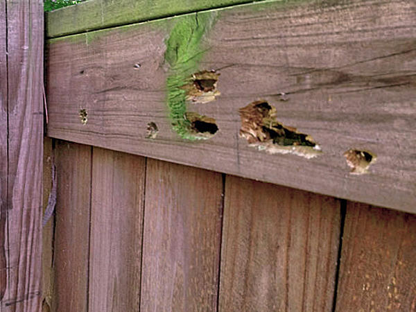 Carpenter bee galleries in the timber of a deck