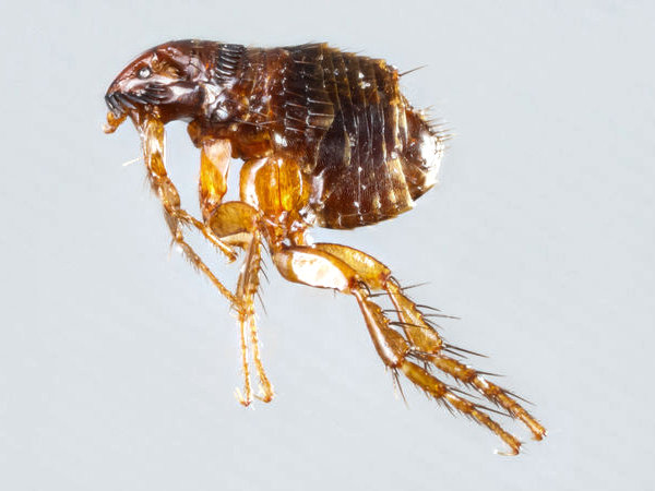 Extreme close up of a cat flea