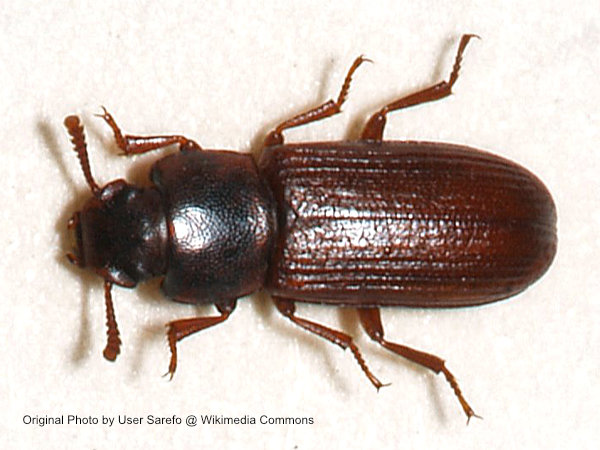 Close up of the top of a confused flour beetle