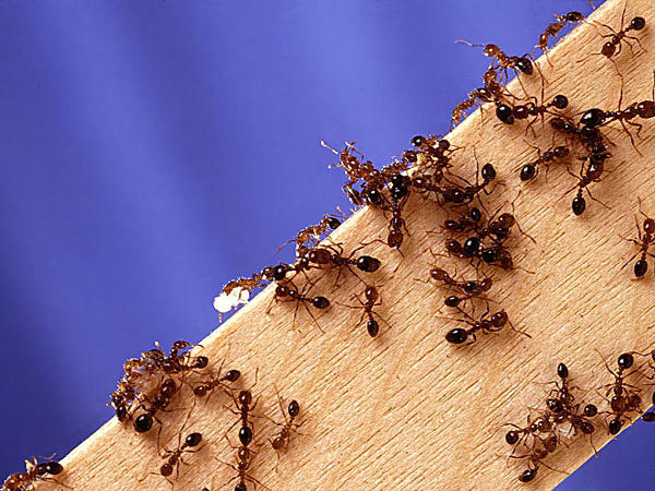 Close up of an fire ants on a piece of wood