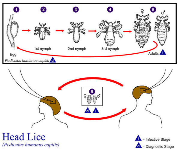 Diagram showing life cycle of a head louse from egg through the nymphal stages through adulthood