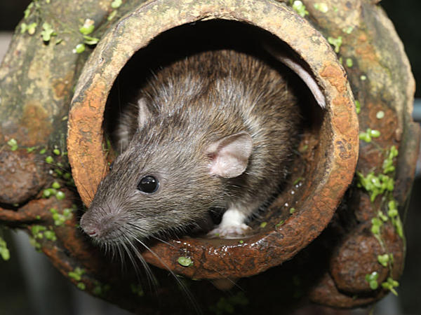 Norway rat poking its head and face out of the end of a sewer drain pipe