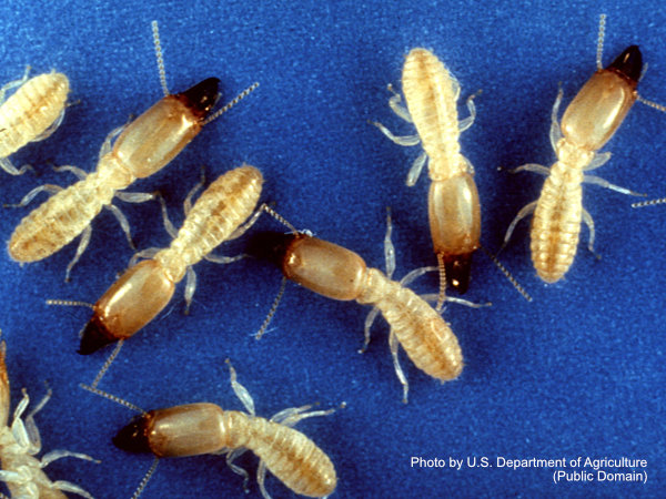 Several soldier termites on a blue background