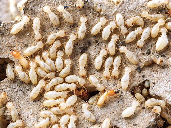 Large group of grub like termite workers with a few soldier termites mixed in