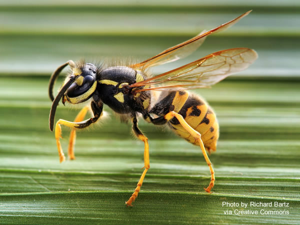 Yellow jacket wasp on a leaf